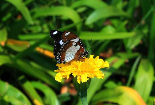Brown Butterfly, Butterfly, Insect, Lepidoptera, Brown