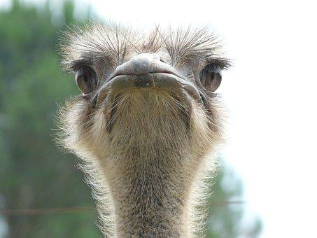 Ostrich, Animal World, Look