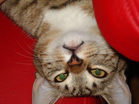 Cat, Pets, Kitten, A Normal Cat, Animal, Cat's Eyes