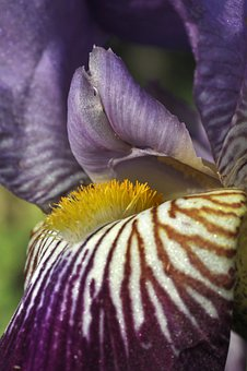 Iris, Flower, Bloom, Markings, Flowers, Macro, Purple