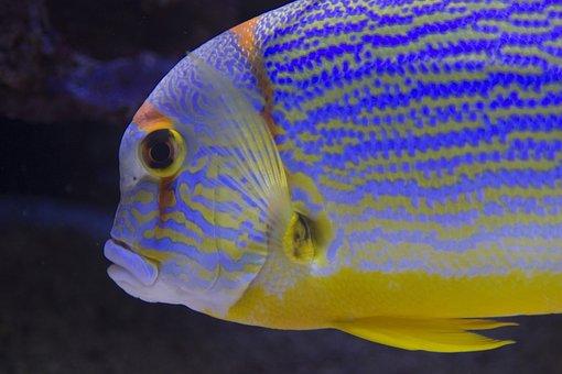 Fish, Aquarium, Striped, Monaco, Surgeon, Sea, Reefs