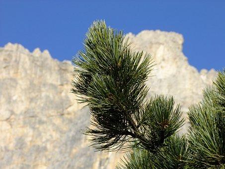 Swiss Stone Pine, Arve, Conifer, Alpine, Tree