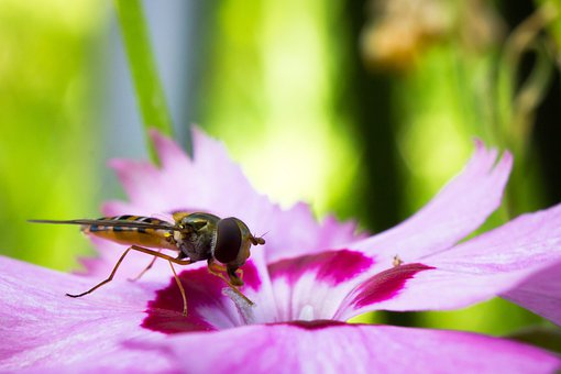 Hoverfly, Syrphide, Insect, Nature, Macro, Wasp, Flower