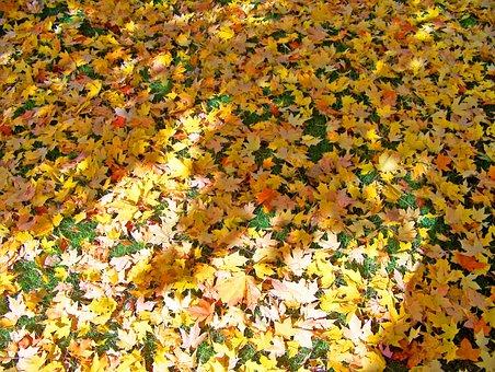 Autumn, Fall, Fallen, Yellow, Orange, Maple, Tree