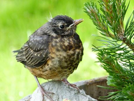 Red Robin, Chick, Bird, Nature, Animal, Young