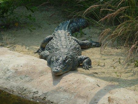 Crocodile, Eye, Animal, Alligator, Reptile, Hunter
