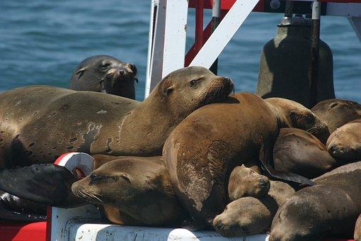 Seals, Seal, Water, Animal, Animals, America