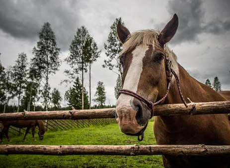 Horse, Animal, Summer, The Finnish Horse