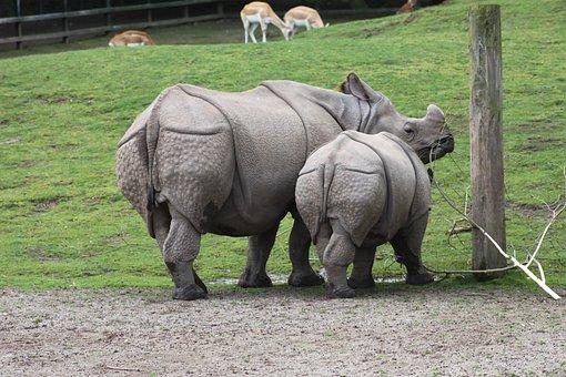 Rhinoceros, Animal, Mammal, Zoo, Baby, Wildlife, Safari