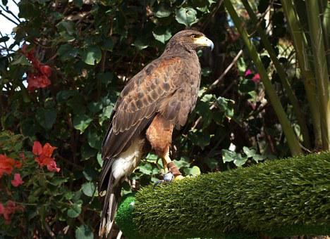 Parabuteo Unicinctus, Bay-winged Hawk, Dusky Hawk, Hawk