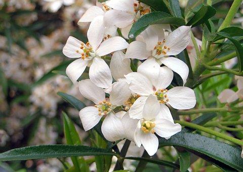 Choisya Ternata, Orange Mexico, White Flowers, Smell