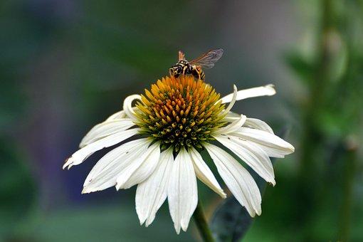 Coneflower, Echinacea, Native Flower, Purple Coneflower