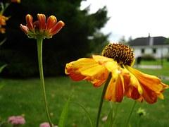 Coneflower, Orange, Flowers, Garden, House, Sky Blue