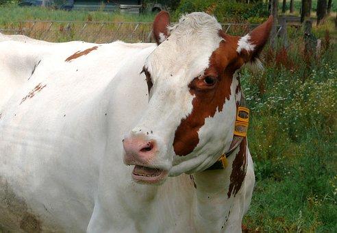 Cow, Roan, Animal, Cattle, Live Stoke, Farm, Meadow