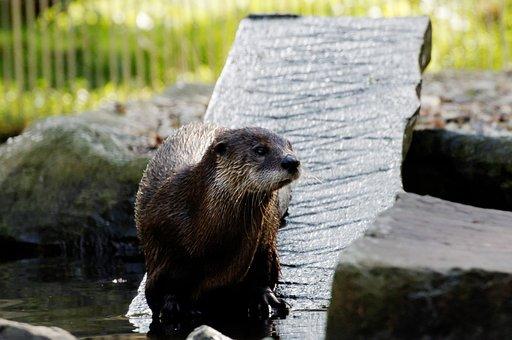Otter, Board, Water, Enclosure, Animal, Zoo, Zoom Bar
