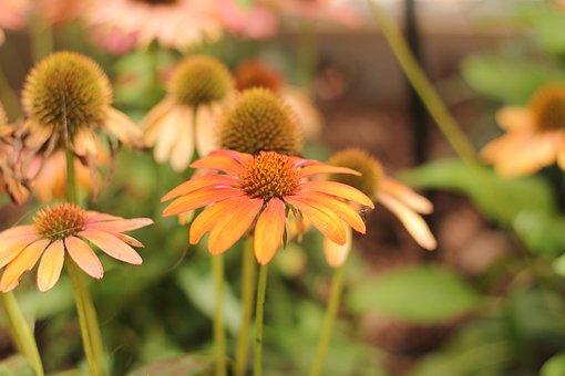 Coneflower, Echinacea, Flower, Orange, Red, Green