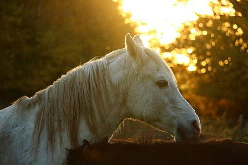 Autumn, Horse, Mold, Thoroughbred Arabian, Stallion