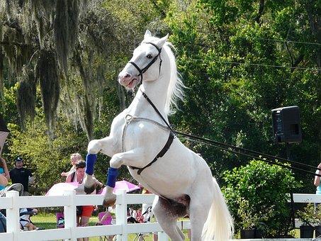 Horse, Lipizzanner Stallion, White Horse, Lipizzan