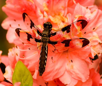 Brown Dragonfly, Plathemis Lydico, Insect, Wing