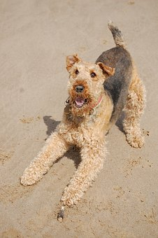 Airedale, Terrier, Happy, Beach, Play
