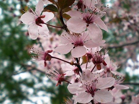 Plum, Tree, Flowers, Branch, Fresh, Leaf, Growth