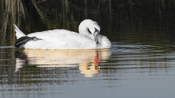 Swan, White Swan, Reflection, Bird, Réceféle
