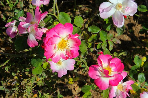Wild Rose, Rose Bush, Hot Pink, Flowers, Flora