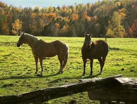 Horses, Ranch, Rural, Fall, Vermont, Field, Equine