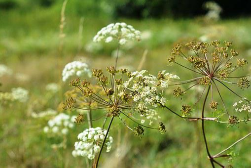 A Flower Of A Parsley, Meadow, Summer, Nature, Plant