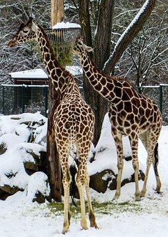 Giraffes, Tiergarten, Winter, Zoo, Reticulated Giraffe