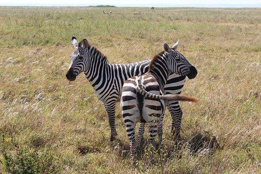 Zebra, Zebras, Two, Striped, Black, White, Africa