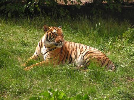 Tiger, Body, Grass, Zoo, Beast, Cat