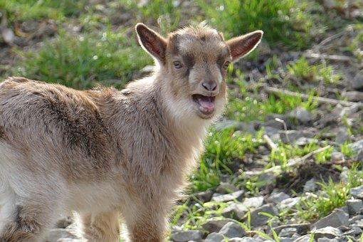 Nature, Animals, Goat, Animal Enclosures, Kid
