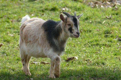 Nature, Animals, Goat, Animal Enclosures