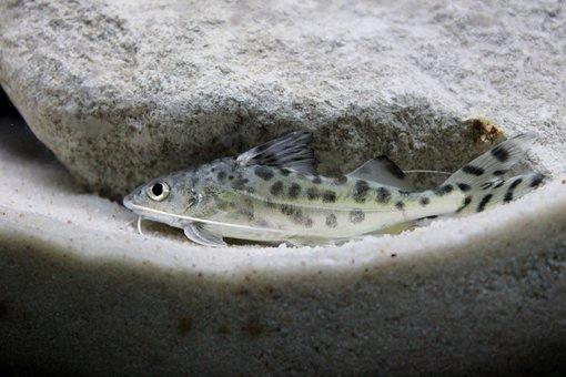 Pictus, Catfish, Aquatic