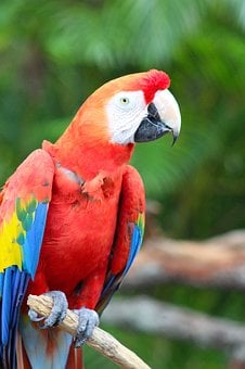 Parrot, Macaw, Bird, Red Feathers