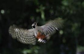 Nature, Bird, Harvester Plaice