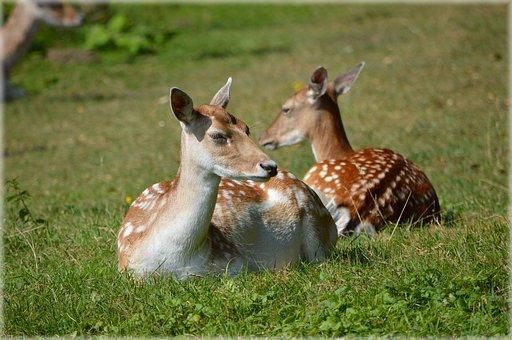 Deer, Ungulate, Fallow Deer, Ruminant, Animal, Wildlife