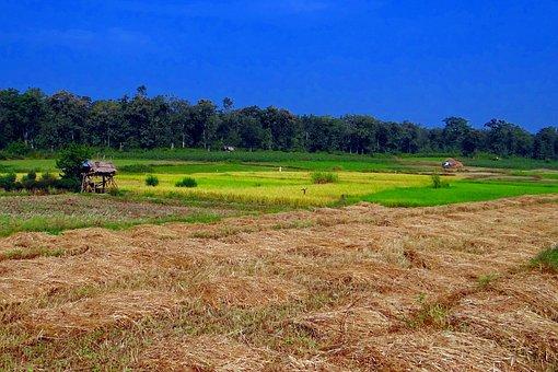 Paddy Harvest, Ripe Paddy, Farm Perch, Forest