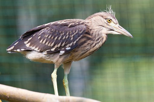 Animal, Beak, Bird, Brown, Eye, Feather, Heron, Night