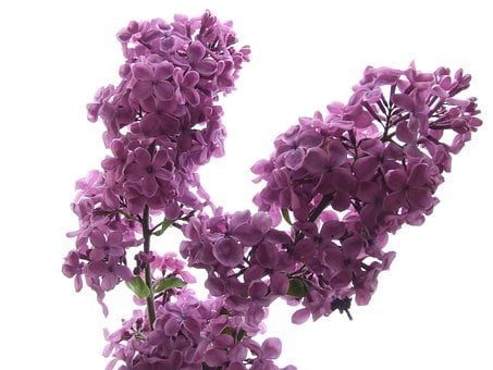 Fllieder, Blossom, Bloom, Fragrant, Lilac Branch