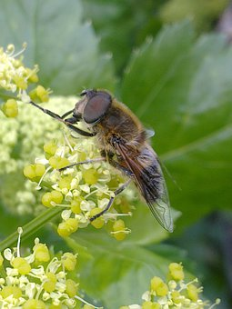 Horsefly, Insects, Fly