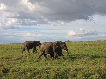 Elephant, Kenya, Savannah
