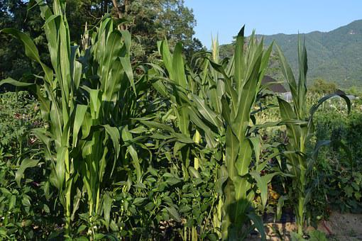 Corn, Farm, Summer, Mountain, Greenery, Crop, Wood