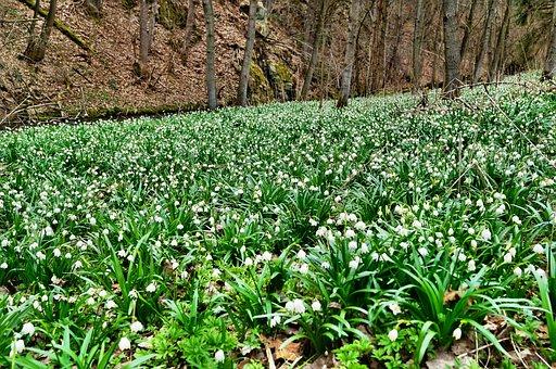 Polenztal, Märzen Cup Meadows, Snowflake