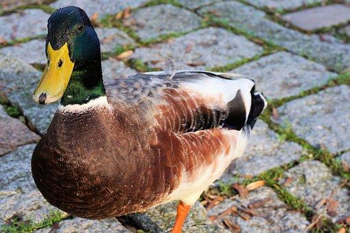 Duck, Drake, Water, Poultry, Bird, Water Bird, Bill