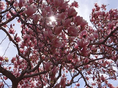 Spring, Blossom, Brenches, Pink, Nature, Magnolia