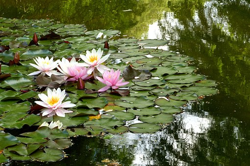 Water Lily, Plant, Nimphaea, Waters, Mirroring, Summer