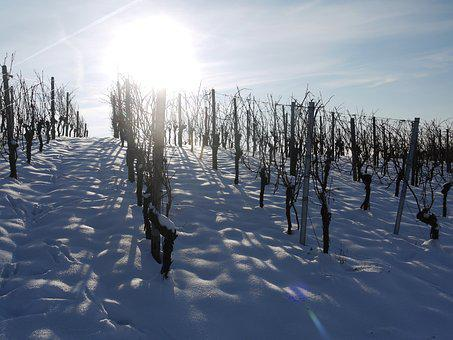 Vineyard, Winter, Snow, Back Light, Wintry, Dream Day