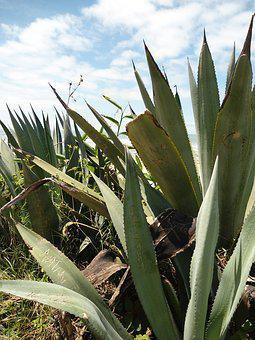 Agave, Plant, Mar, Beach, Beach Towers